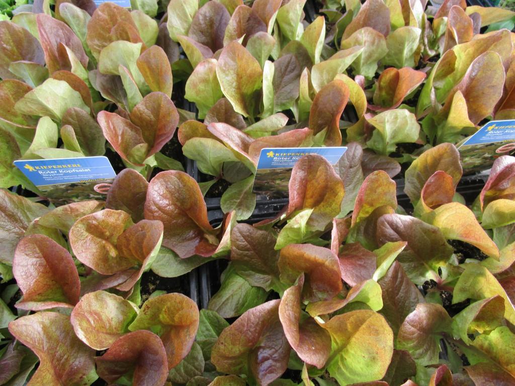 Gemusepflanzen Von Kiepenkerl Fur Fruhbeet Oder Gewachshaus