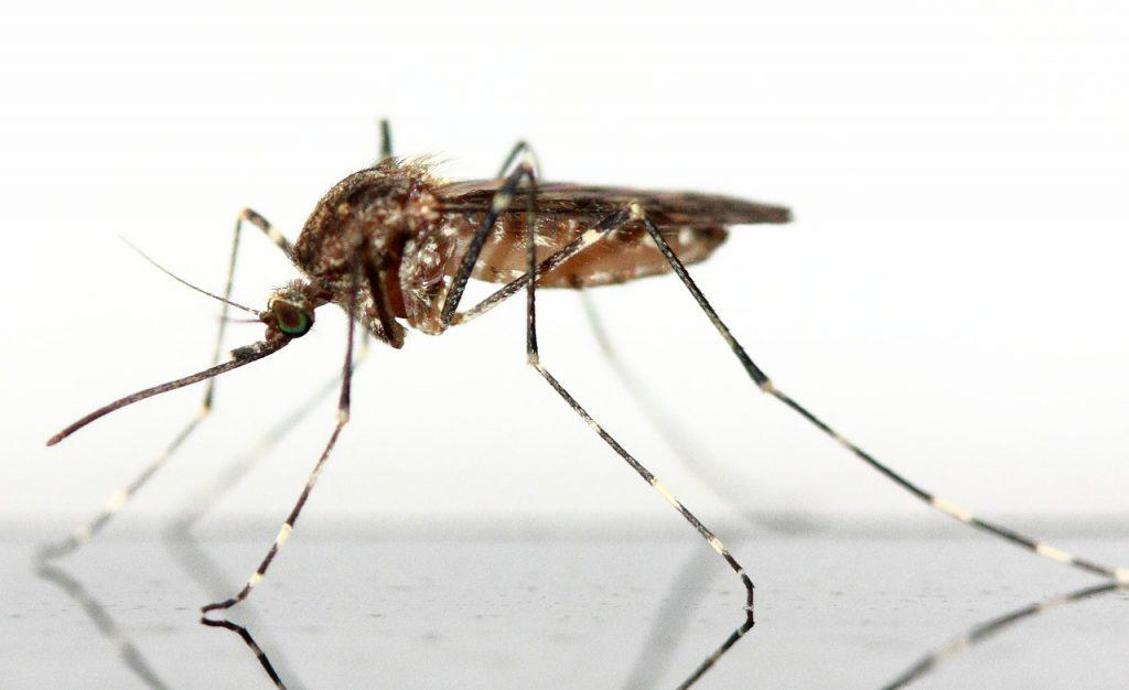 Mückenplage